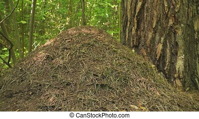 Big anthill in forest at sunny day.