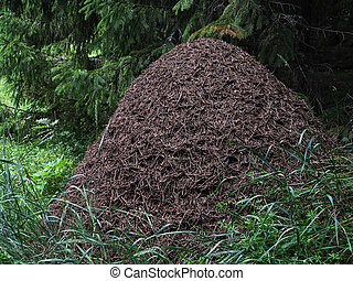 anthill - big anthill in the spruce forest horizontal...