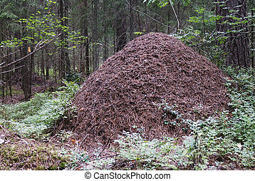 big anthill in the spruce forest horizontal