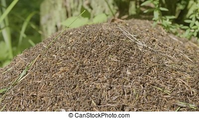 Big anthill with colony of ants in summer forest. A large anthill in the forest