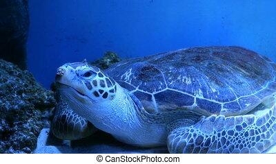 Big aquarium with uneven multi-colored lighting, wherein swimming big Sea Turtle underwater.