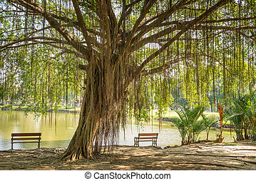 Big Banyan Tree and the chair