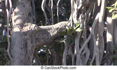big banyan tree in Jaipur fort