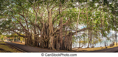 Big banyan tree. Panorama - Big banyan tree. Mauritius...