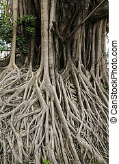 big banyan tree root