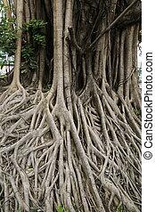 big banyan tree root