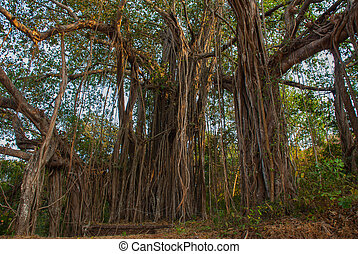 Big beautiful banyan tree. Goa state, India.