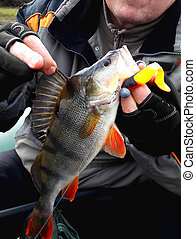 Big, beautiful bass with bait in the mouth in the hands of the angler