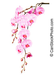 Big beautiful branch of pink orchid flowers with buds isolated on white