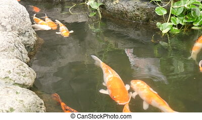 Big beautiful red Japanese carp in pond - Big beautiful red...