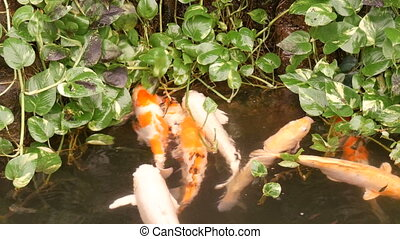 Big beautiful red Japanese carp in pond funny drink water -...