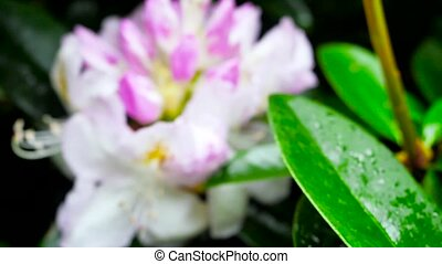 Big beautiful rhododendron flower.. Color correction.