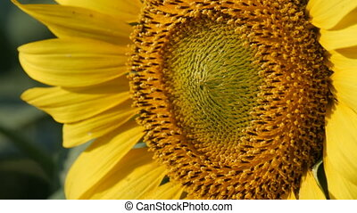 Big beautiful sunflowers in the summer field close up view