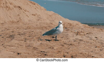 Big beautiful white seagull walks on the shore of a clear blue sea on the sand