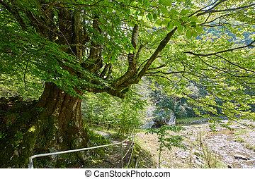 Big beech tree - Enormous centennial beech tree during...