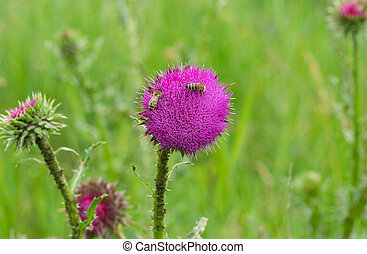 Big bees sucking nectar on a thistle flower in summer Ukrainian meadow