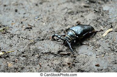Big beetle on the ground