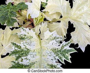 big bicolor leaves closeup - full frame big green and white ...