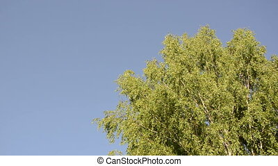 big birch sway - big old wide birch branches sway in the...
