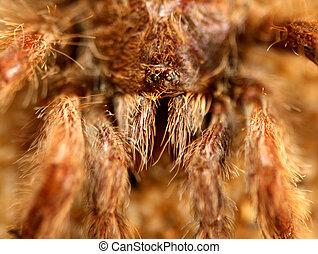 Big bird spider (Avicularia spec.) from Brasil