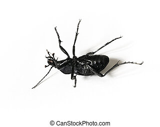 Big black and violet beetle isolated on white background