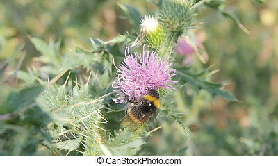 Bumble bee collects pollen and nectar from flowers of thistles