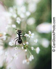 big black ant - on a white flower big, black ant