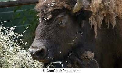 Big black bison lies and eats hay on a sunny day in summer in slow motion