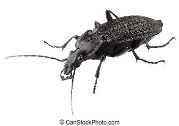 Big black bug