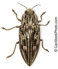 Big black bug isolated on white