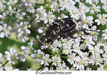 Big black bug with white spots on the small white flowers.