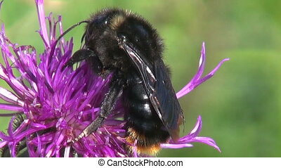 big black bumblebee on wild flower