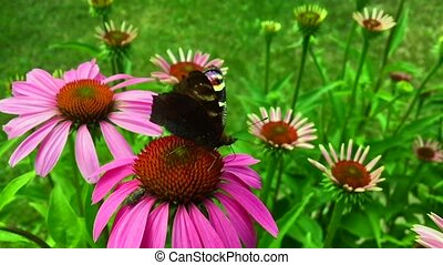 Big black butterfly Monarch walks on plant with flowers