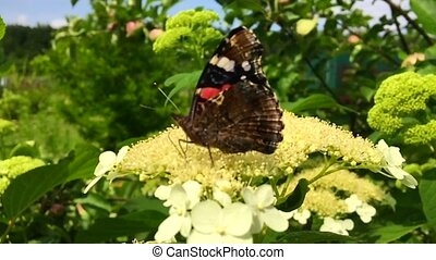 Big black butterfly Monarch walks on plant with flowers and...