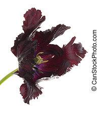 big black flower parrot tulip
