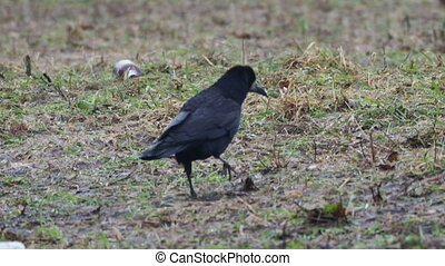 Big black raven is searching for food