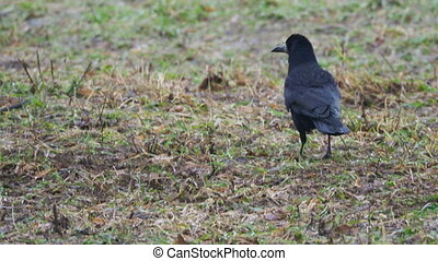 Big black raven searchs for food and defecates.