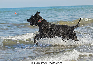 Big Black Schnauzer Dog in the sea