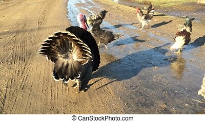 big black turkey feathers fluffed their