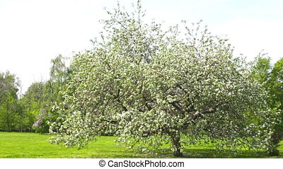 Big blossoming apple-tree in park