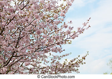 big blossoming Oriental cherry sakura tree against the sky