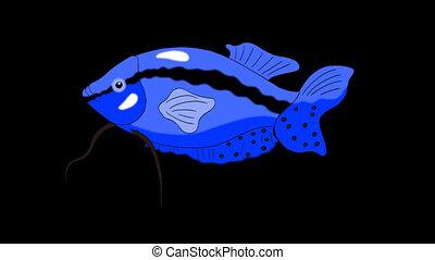 Big Blue Aquarium Fish Gourami Alpha Matte looped - Big Blue...
