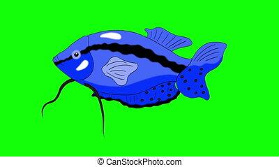 Big Blue Aquarium Fish Gourami Chroma Key looped - Big Blue...