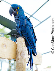 Big blue macaw parrot. A large bird in bright blue. - Big...