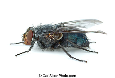 Big blue redhead fly (Calliphora vicina) isolated on white...