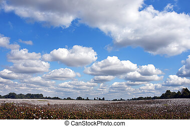 Big Blue Sky Over Cotton Field in Tennessee