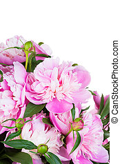 Big bouquet of pink peonies on a white background, isolated