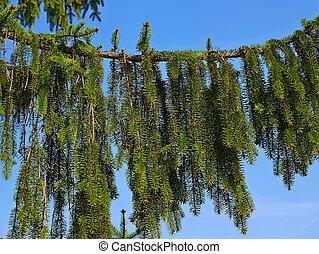 Big branch of Fir Tree