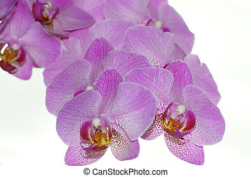 Big branch with flowers of a pink orchid on a white background