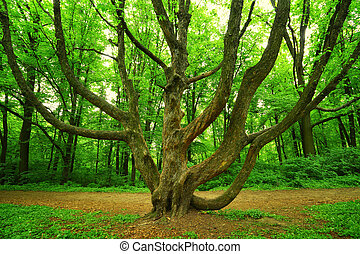 big branchy tree in forest